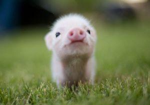 Photo d'un cochon anonyme trouvé sur le net.